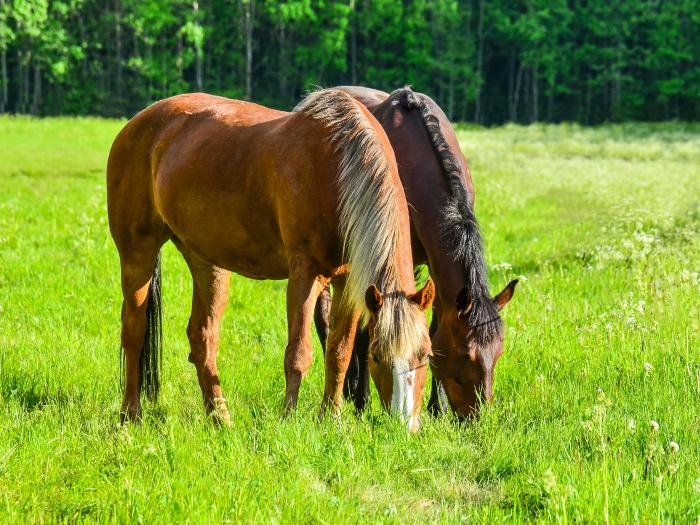 caballos-comiendo-hierba